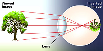 This image shows the passage of light from an object - in this case a tree - through the lens at the front of the eye and onto the retina at the back of the eye.  The tree is standing upright and has green foliage.  Red lines show just five of the many points of light that travel to the eye from the tree to project the complete image.  The red line representing a ray of light coming from the top of the tree is shown meeting the lens at its top and then being bent so that it passes through the centre of the eye (which is, in essence, a sphere) so that when it meets the retina it is at the bottom of the received image.  Conversely the light ray shown emanating from the bottom of the tree trunk, meets the lens at the bottom, passes through the same point in the very centre of the spherical eye and appears on the retina at the top of the received image.  Light from the very centre of the tree passes through the middle of the lens and is not bent, so it remains in the centre of the image on the retina.  In this way the image is show to be a perfect replication of the tree, but is actually upside down on the eye's retina.